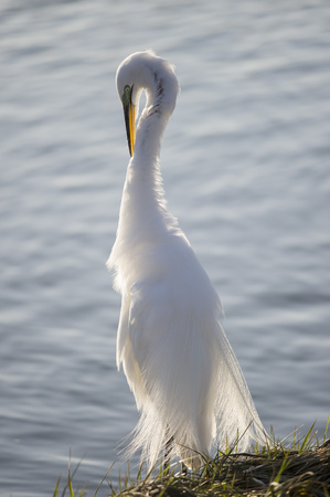 A Great Egret preens and cleans its feathers as the sun lights it up from behind making the white feathers glow. Stock Photo