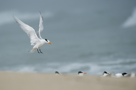 A Royal Tern flaps its wings just before landing on a beach with a flock of other terns on a foggy morning.