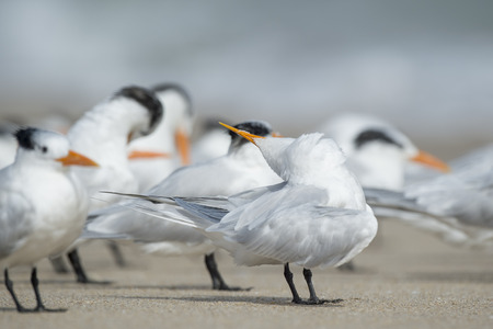 A Royal Tern looks somewhat funny with its beak turned up over its head while preening and cleaning its feathers among a flock on the sandy beach. Banco de Imagens - 71610685