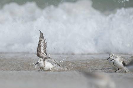 A Sanderling flaps around splashing in the shallow ocean water on a sandy beach with a wave crashing in the background.