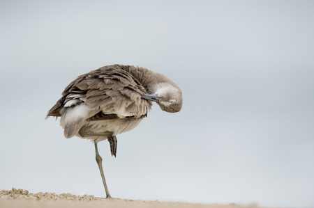 A Willet preens and cleans its feathers with its eye shut while standing on one leg in soft overcast light.