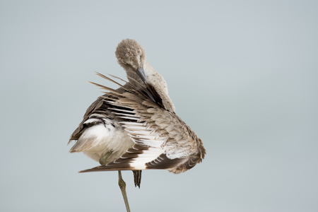 A Willet preens its wing cleaning out its feathers while standing on one leg in soft overcast light. Stock Photo