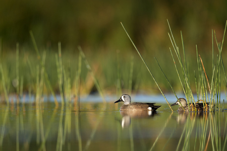 A pair of Blue-winged Teal ducks float on the calm water in the morning surrounded by green aquatic grasses.