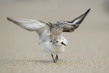 flaps: A Sanderling walks and flaps its wings on a sandy beach after cleaning its feathers.