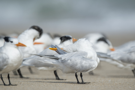 A Royal Tern looks somewhat funny with its beak turned up over its head while preening and cleaning its feathers among a flock on the sandy beach. Banco de Imagens - 71610885