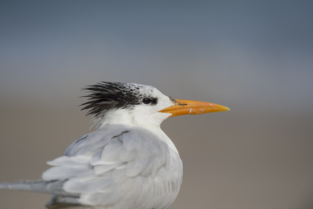 A Royal Tern close up portrait in soft light with its black head feathers stick out. Banco de Imagens