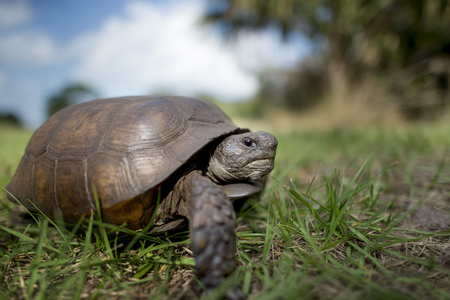 A Gopher Tortoise walking in green grass with a blue sky behind it on a bright sunny day. Stock Photo
