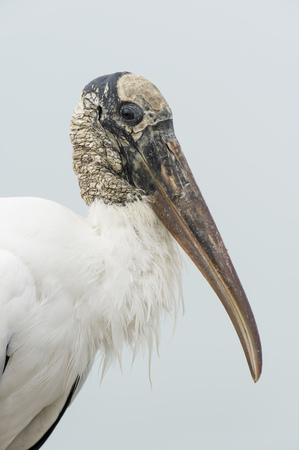black textured background: An ugly Wood Stork close up portrait with soft light showing off its textured head and white feathers. Stock Photo