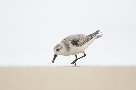 water bird: A Sanderling feeds on a sandy beach with its beak covered in sand with a solid white background in soft overcast light.