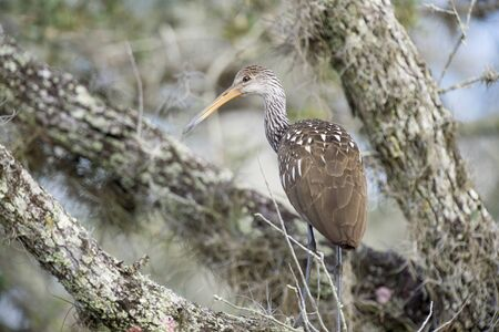 A big Limpkin stands in a tree in soft afternoon sunlight.
