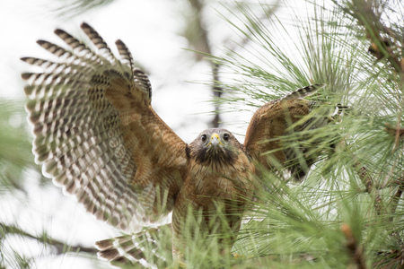 flaps: A Red-shouldered Hawk flaps its wings while standing in a pine tree in soft overcast light.