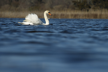 A Mute Swan swims on bright blue water with its large white wings held up behind its back. Banco de Imagens