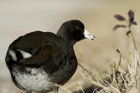 An American Coot close up portrait showing off its bright red eye on a sunny day with a smooth background. Banco de Imagens