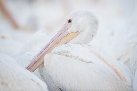 An American White Pelican close up view of its head and beak in soft light showing off its pink and orange beak. Banco de Imagens - 73393072