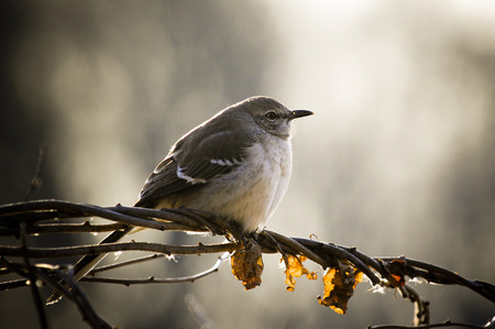 ruiseñor: A Northern Mockingbird perched on a twist of vines and branches being backlit by the sun on a winter day.