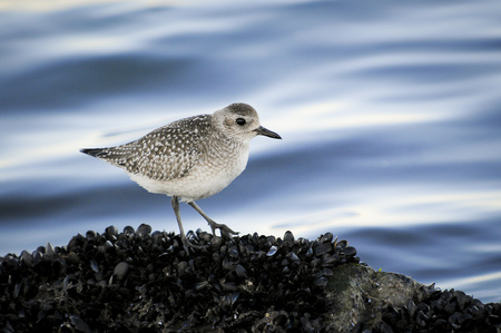 A Black-Bellied Plover standing on a bed of mussels with a blue water background in soft overcast light.
