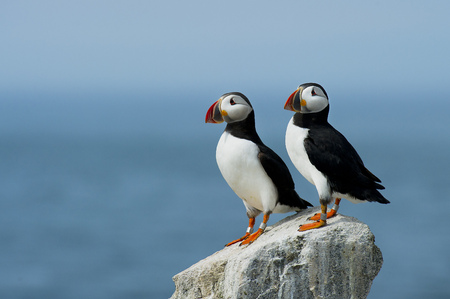 A pair of Atlantic Puffins stand on a rocky outcrop in front of the bright blue ocean on a sunny afternoon.