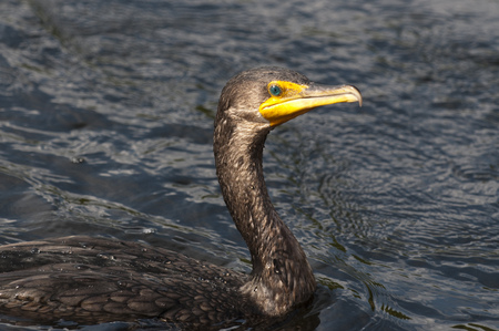 A close Double-crested Cormorant swimming on a sunny day showing off its colorful eye.