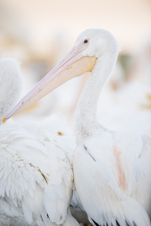 An American White Pelican stands up with its head and beak in soft light showing off its pink and orange beak. Banco de Imagens - 73411011