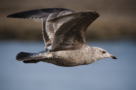 A brown juvenile Herring Gull flying on a bright sunny day.