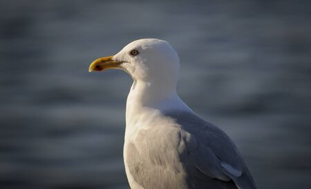 A portrait of a Herring Gull on a bright sunny day with a smooth gray background. Stok Fotoğraf