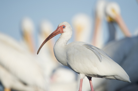 curved leg: White Ibis stands in front of a flock of White Pelicans on a sunny day with its big curved red bill.