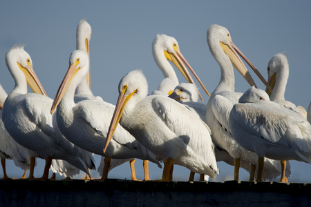 A flock of White Pelicans stand on a wooden dock together on a bright sunny day. Stock Photo