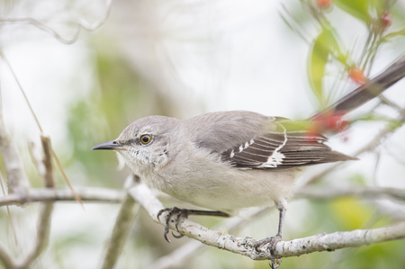ruiseñor: A Northern Mockingbird perches on a small branch with green leaves around it on an overcast day. Foto de archivo