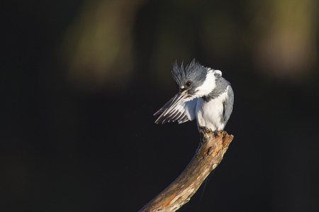 A male Belted Kingfisher preens and cleans its wing as it perches on a branch on a sunny day against a dark background.