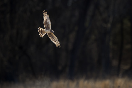 A Northern Harrier flies with its wings and tail spread in front of a nearly black background on a bright sunny day. Stock Photo