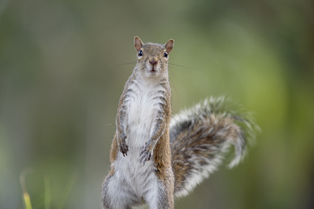 smooth: A Gray Squirrel stands tall with an alert look in soft light with a smooth green background. Stock Photo