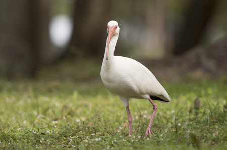 A White Ibis stands in the green grass and looks funny with its big curved bill facing head on.