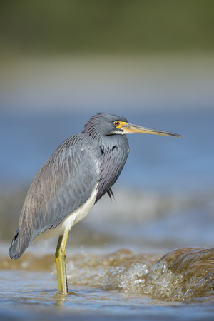 motionless: A colorful Tri-colored Heron wades into the shallow water along a shoreline on a bright sunny day. Stock Photo