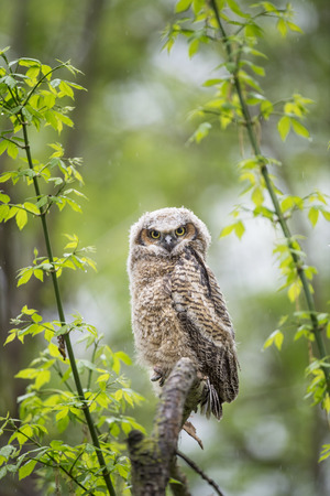A cute Great-horned Owlet perched on a branch in the rain in the lush spring green forest.