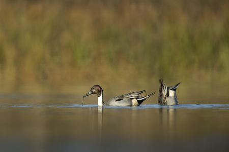 A pair of Northern Pintails feeding in the shallow water, one with its head up and another with its tail up.
