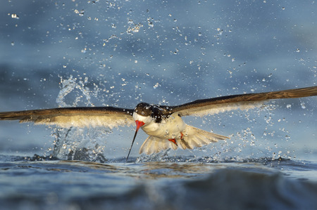 skimming: A Black Skimmer makes a big splash in the water after a missed attempt at grabbing a fish from the water in the early morning sunlight. Stock Photo