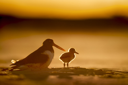 A young American Oystercatcher stands in the late setting sun as its fuzzy feathers glow on a sandy beach.