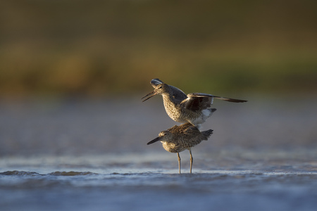 A pair of Willet are mating in the shallow water along the muddy beach in the evening sunlight. Stock Photo