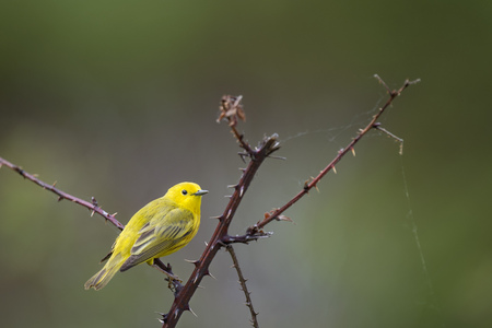 A bright Yellow Warbler perches on a thorny branch in front of a smooth green background in soft light. Stock Photo
