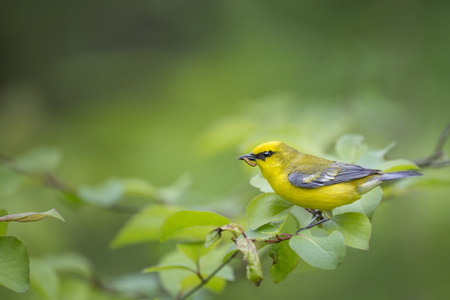 A Blue-winged Warbler perches on a leafy branch with a caterpillar in its beak on a spring day.