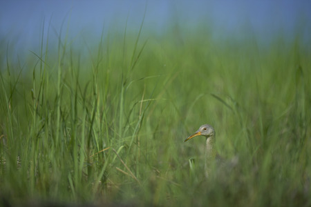 A Clapper Rail peeks its head and neck out from the bright green marsh grasses on a sunny morning.
