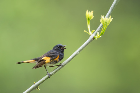 A male American Redstart calls out loudly while perched on a branch with fresh spring leaves growing against a smooth green background.