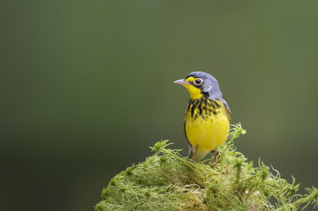 A vibrant yellow Canada Warbler perches on some green moss on the forest floor with a smooth green background. Stok Fotoğraf