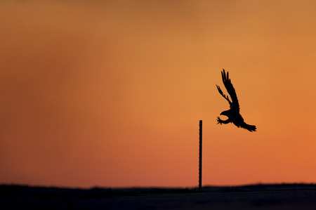 silhoutted: An Osprey comes in to land on a small post silhoutted against the morning orange and red sky.