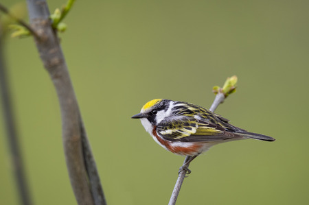 A strikingly colorful Chestnut-sided Warbler perches on a small branch with fresh spring growth in front of a smooth green background. Stock Photo