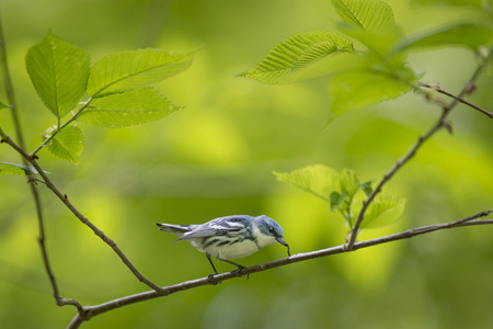 A Cerulean Warbler eats a small inch worm while perched on a branch surrounded by bright green leaves. Stock fotó