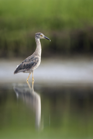smooth: A juvenile Yellow-Crowned Night Heron wades in the shallow calm water with its reflection and a smooth green background.