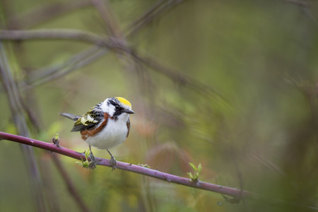 A Chestnut-sided Warbler perches on a thorny branch in dense cover showing off its bright yellow, rusty, black and white colors on an overcast day. Stock Photo