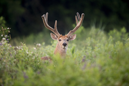 A large Whitetail Buck stares out while standing in a field with his large antlers in velvet showing well. Stok Fotoğraf