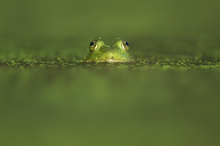 A frogs eyes and head stick up through the water that is covered in green duckweed.